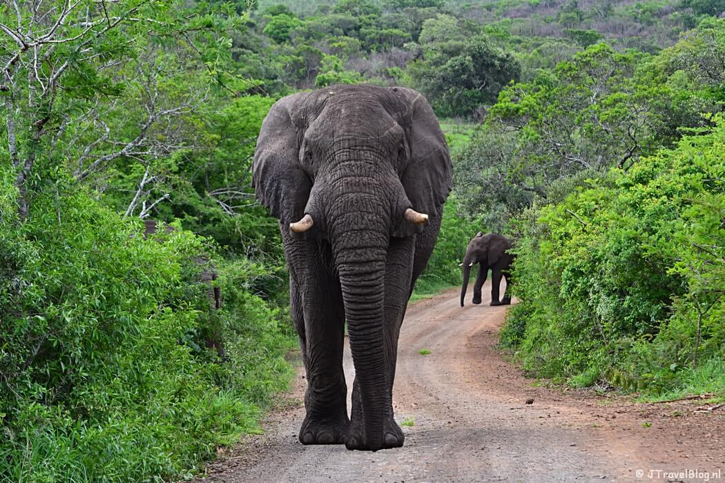 Een olifant in het Hluhluwe-Imfolozi Game Reserve in Zuid-Afrika