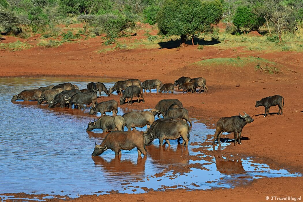Buffels tijdens een gamedrive bij Hannah Lodge/Zuid-Afrika