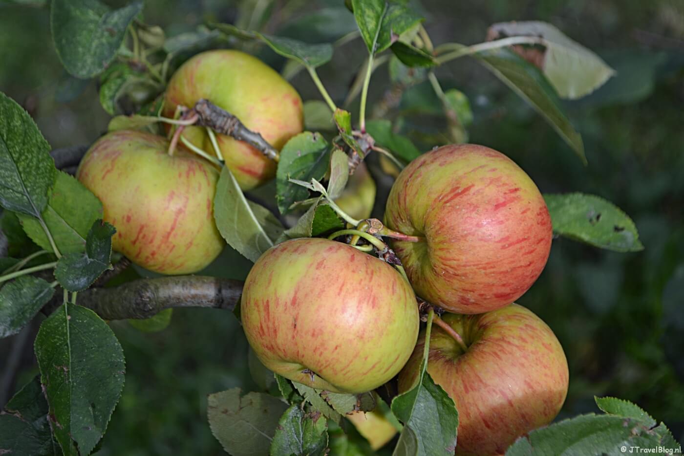 Mijn eigen appels plukken op Landgoed de Olmenhorst