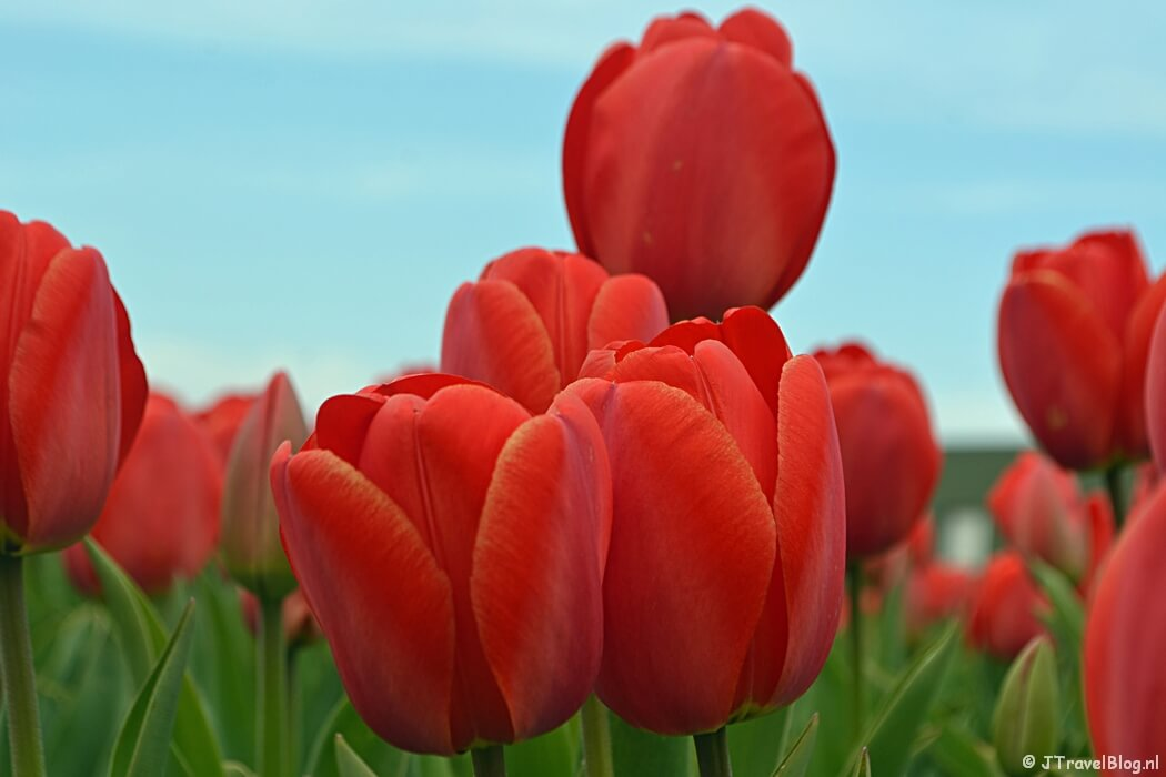 Rode tulpen tijdens de Bollenstreekwandeling rond De Zilk