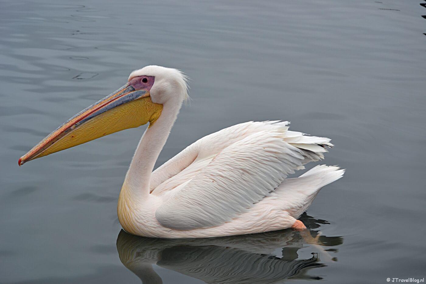 Een pelikaan in de haven vooraf aan de boottocht bij Walvis Bay